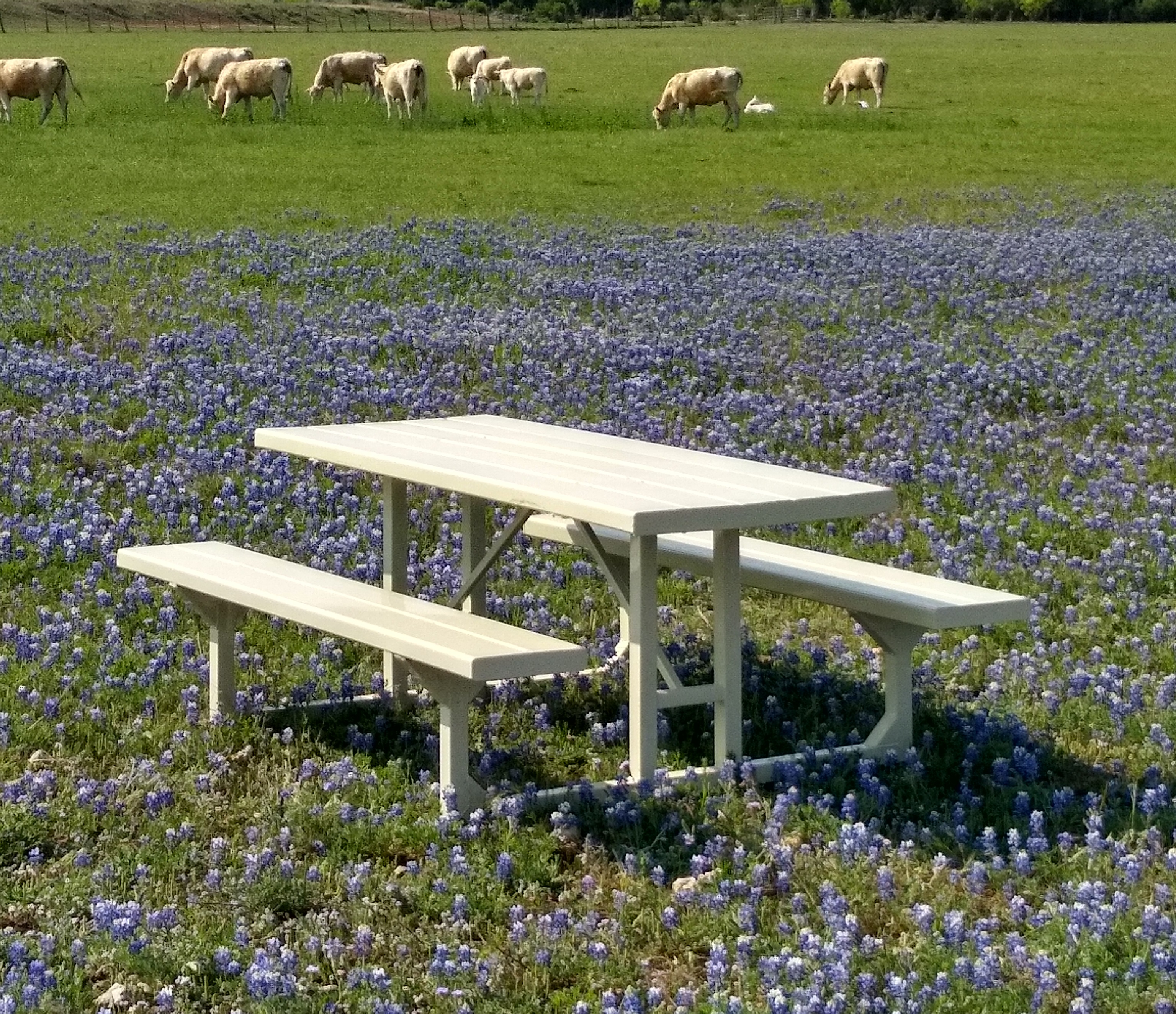 Picnic Table w Cows 2