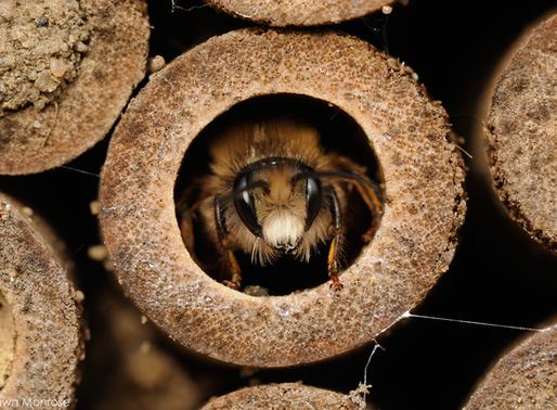 Why Attract Mason Bees FAQ