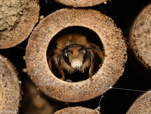 Why Attract Mason Bees FAQ