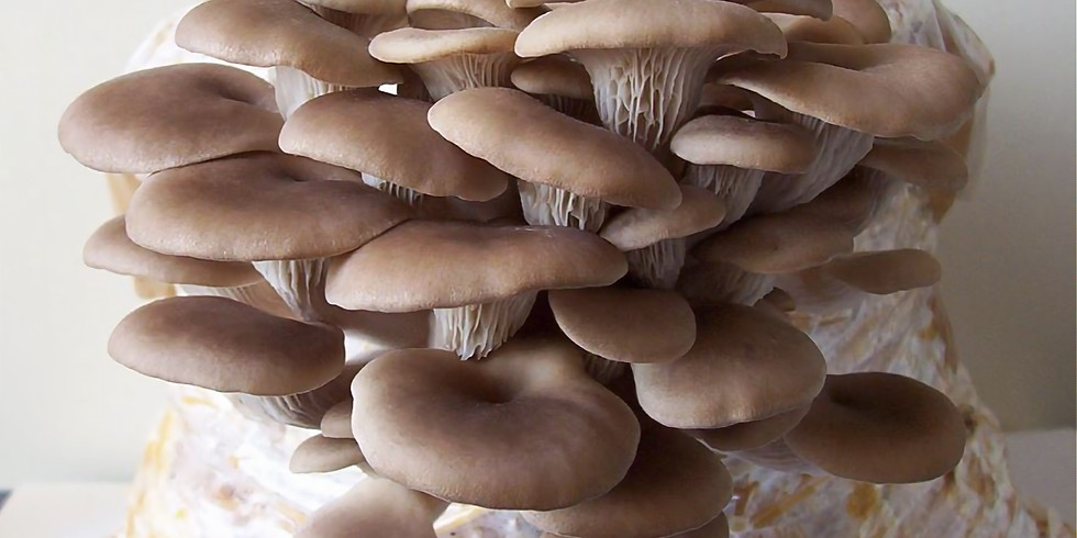 Grow Your Own Oyster and Wine Cap Mushrooms