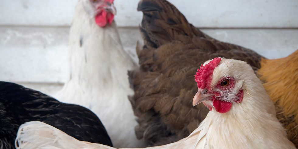 Chickens in The City: Introduction to keeping happy birds (and happy neighbours)