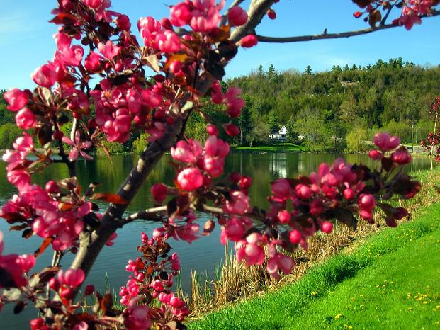 Spring flower tree .jpg