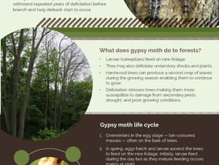 Gypsy Moth Outbreak