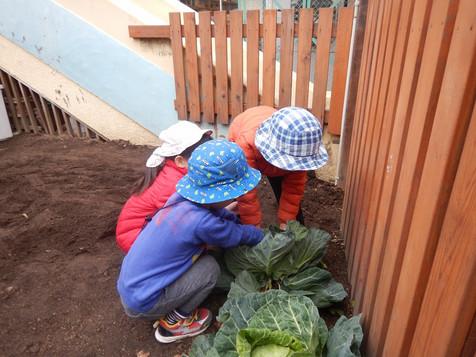 菜園のキャベツ収穫