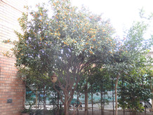 きんかんの木