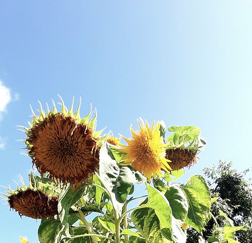 Sonnenblumen - Aufblühen