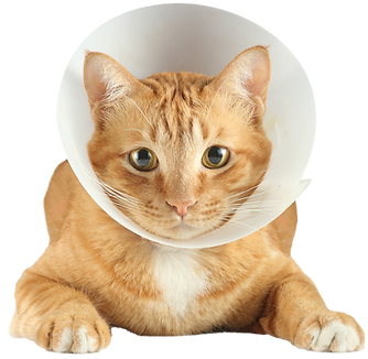 cat in post-surgical cone