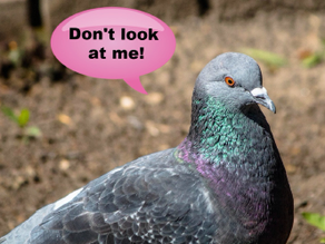 Pigeon Fever