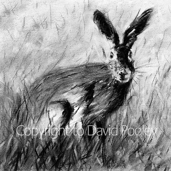 Study of a Hare