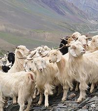 Cashmere_goats__Source_FlickrJelle_Visse