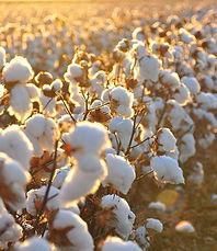 1280px-Cotton_field_kv17-e1499591469913.