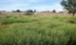 pepperweed.jpg