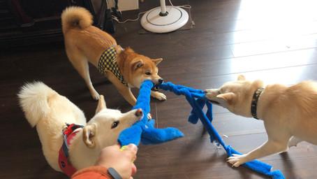 なぜ、犬は遊ぶのかな?