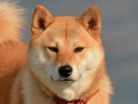 なぜ、柴犬は突然咬んでくることがあるのか?