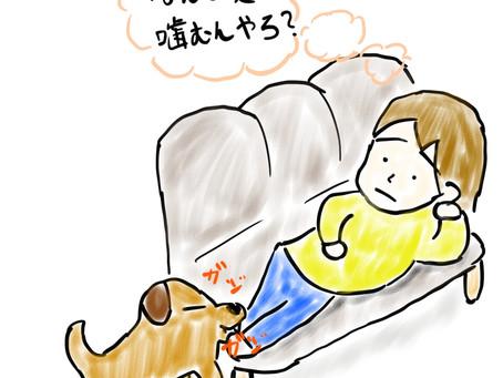 ソファの上で寝ていると足を噛んでくる犬の本音