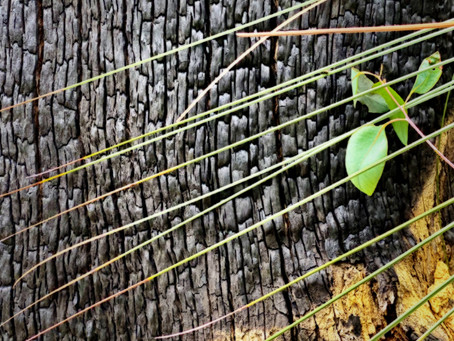 bush fire regeneration