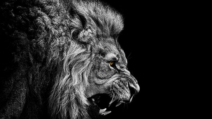 black-and-white-lion-desktop-background.