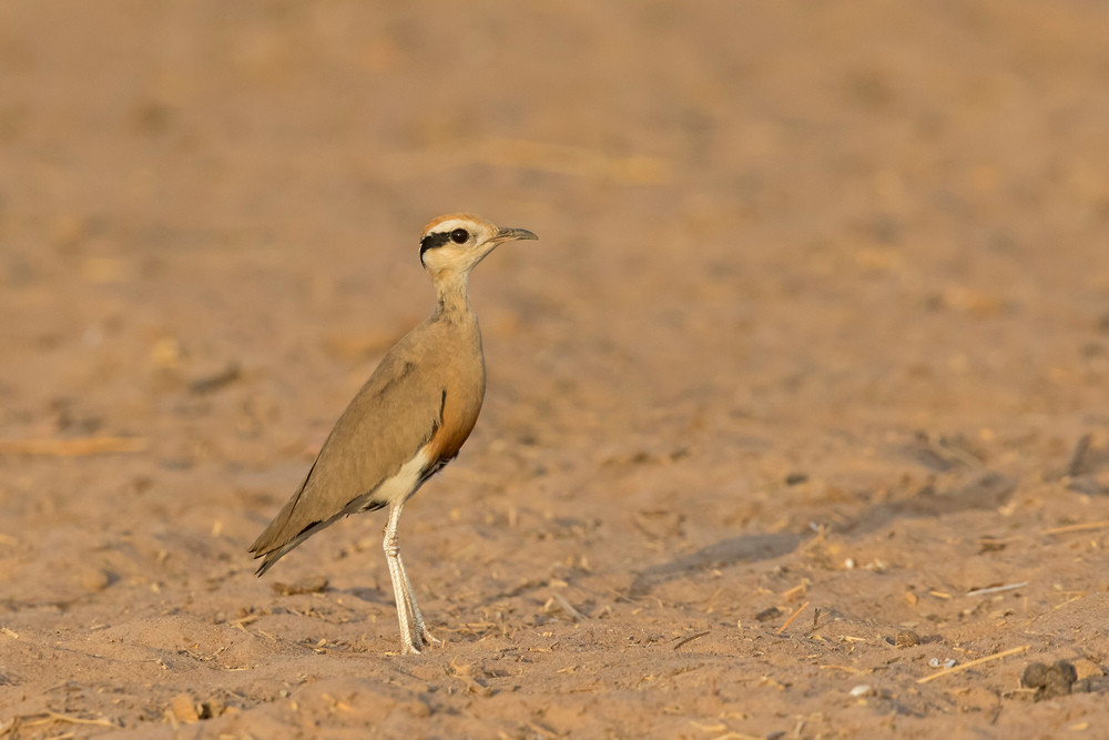 _A5A9110 Temminck's Courser.jpg