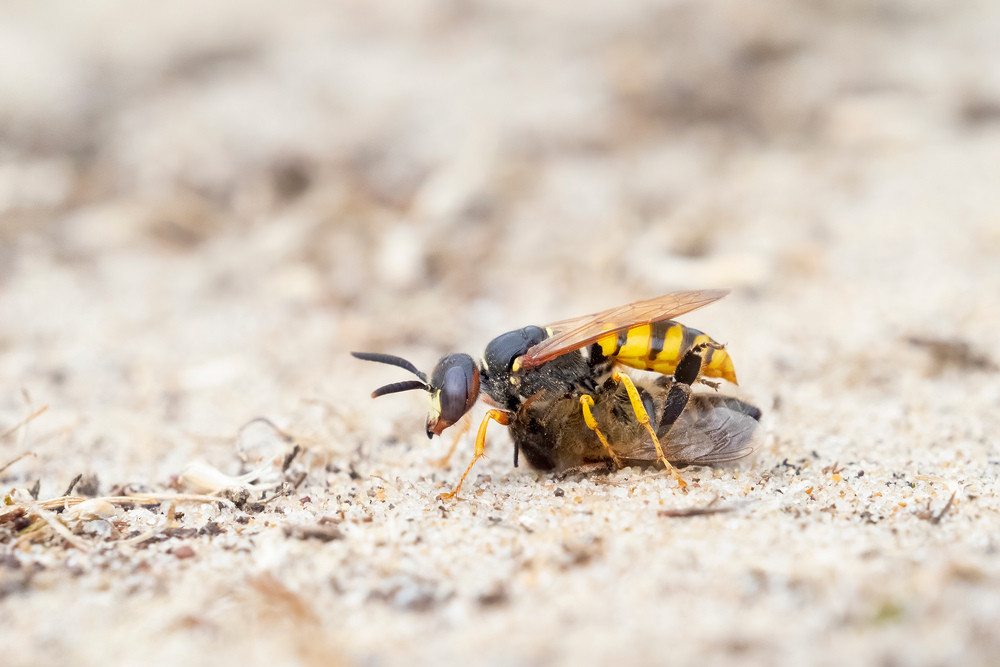 _7089721 Bee Wolf on sand with Bee.jpg