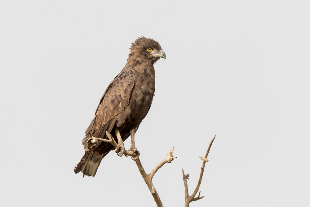 _A5A0894 Black Snake Eagle.jpg