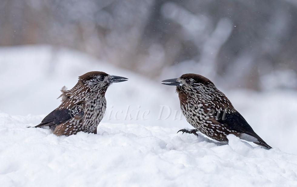 _I8A8235 Nuitcrackers x 2 on snow.jpg