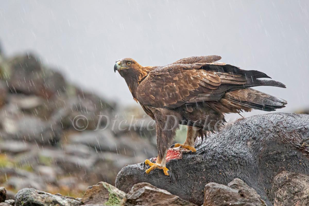 _H2P9216 Golden Eagle on carcass in rain