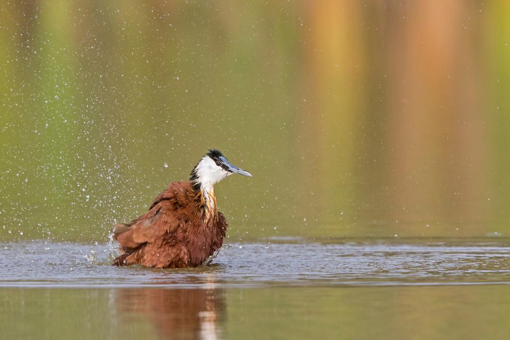 _A5A3759 Jacana bathing.jpg