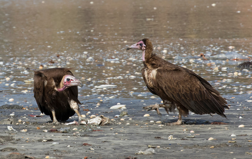 _A5A4828 Hooded Vultures.jpg