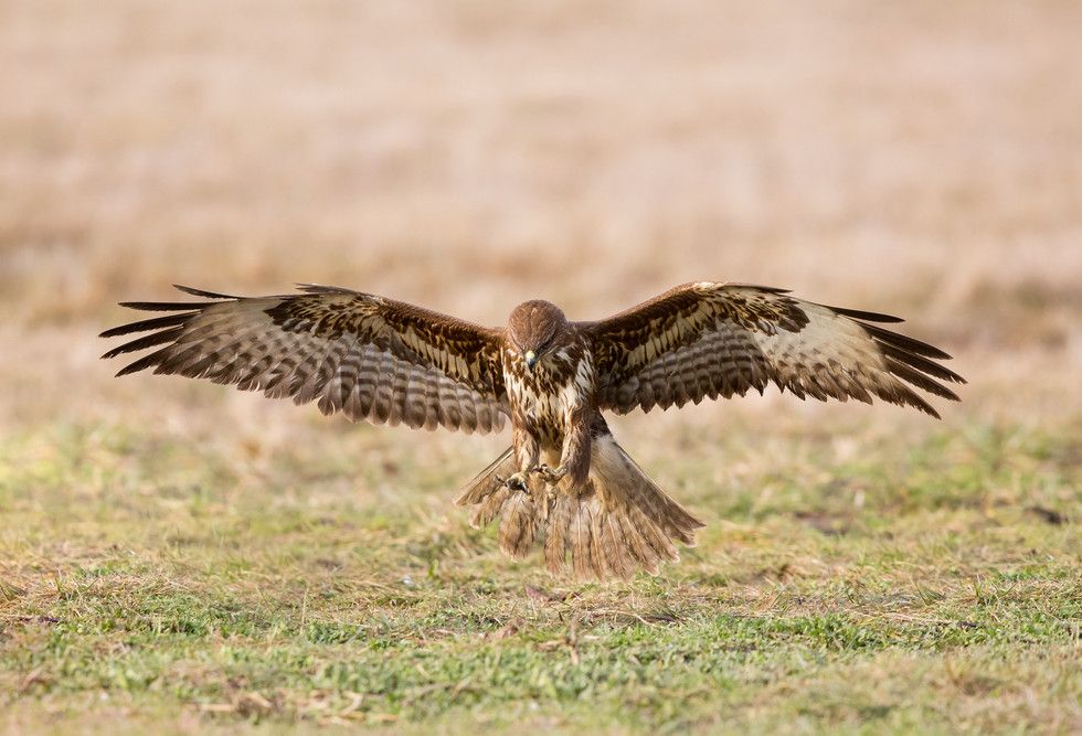 _H2P2618 Common Buzzard