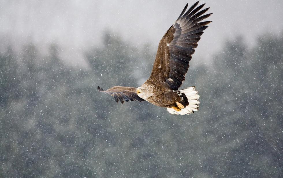 _93C4184 Eagle in snow