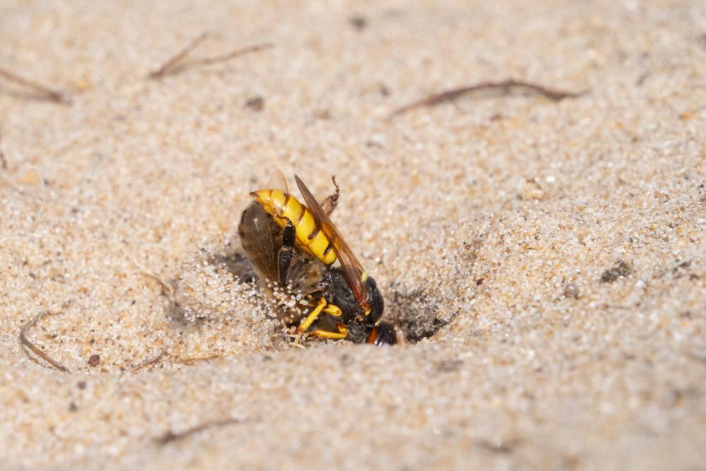 _7079064 Bee Wolf burying Bee.jpg