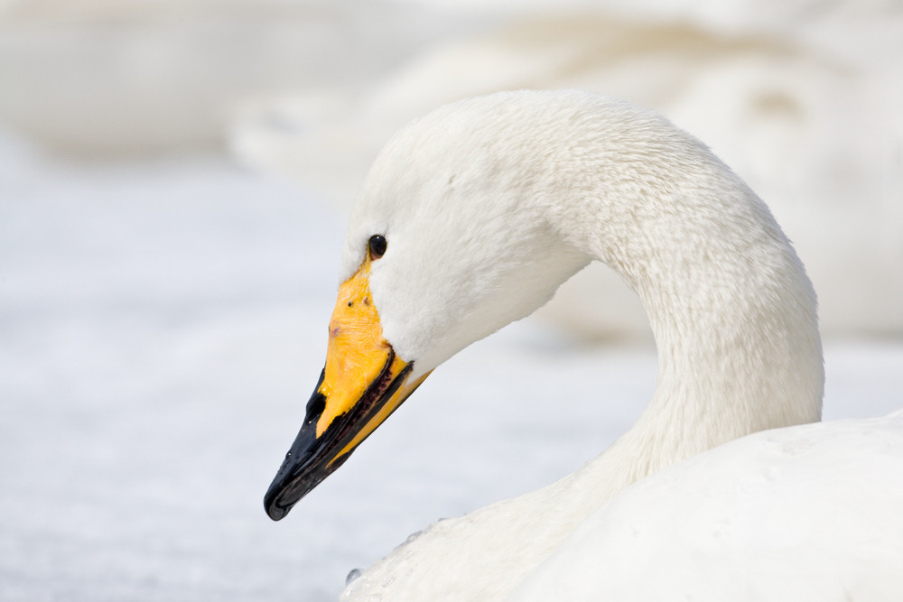 _93C4814 Whooper close up