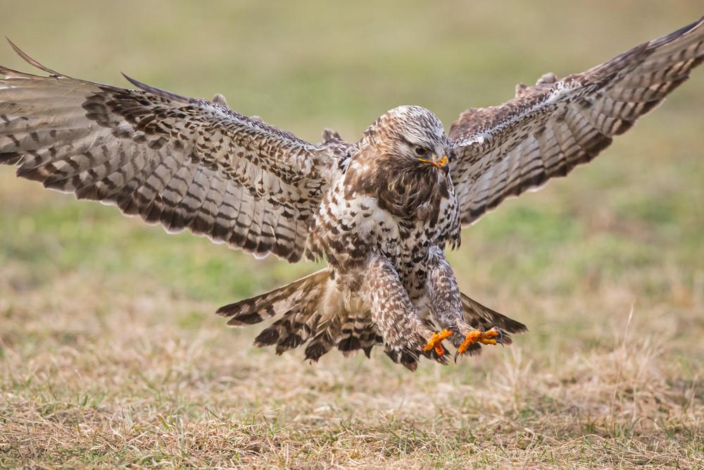 _H2P2585 Rough-legged Buzzard