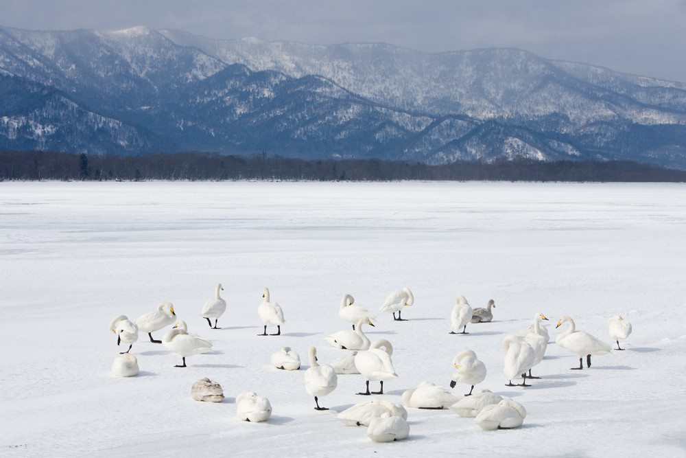 _X0A2247 Swans on ice wide.jpg