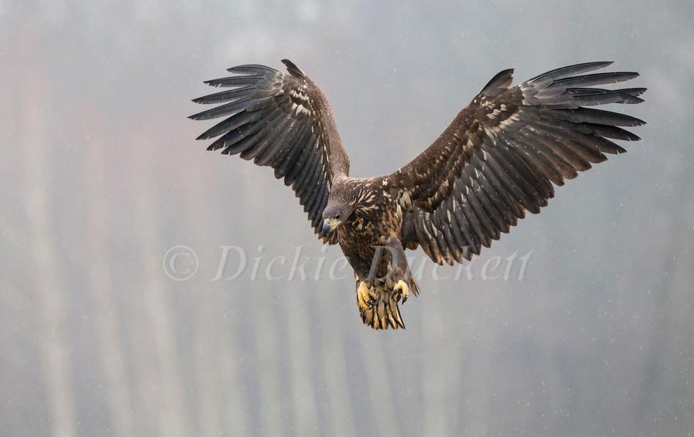 _H2P3967 Eagle descending in rain.jpg