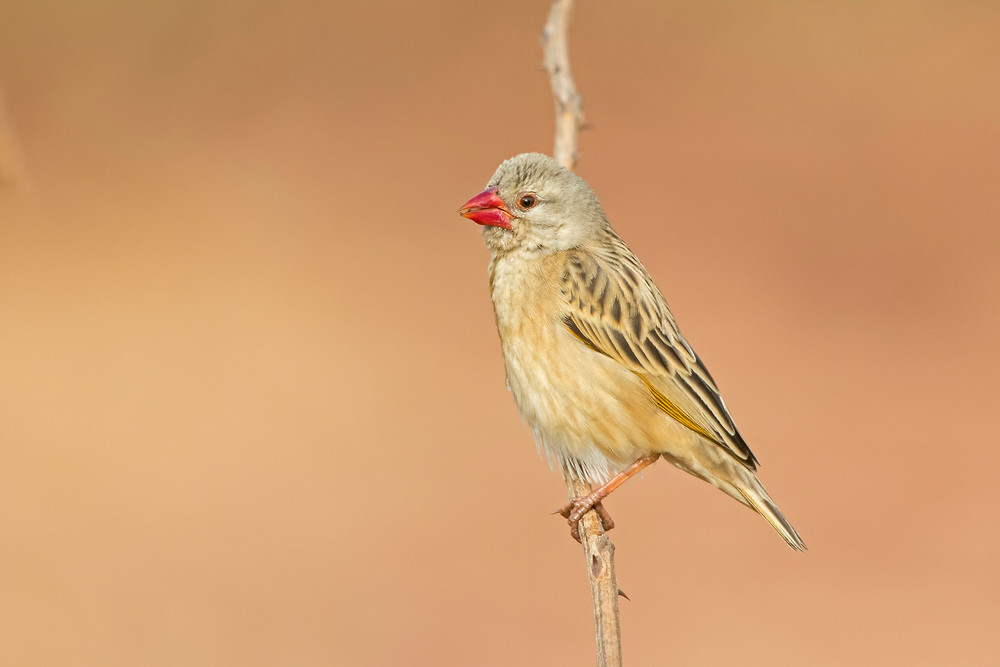 _A5A0218 Red-billed Quelea.jpg
