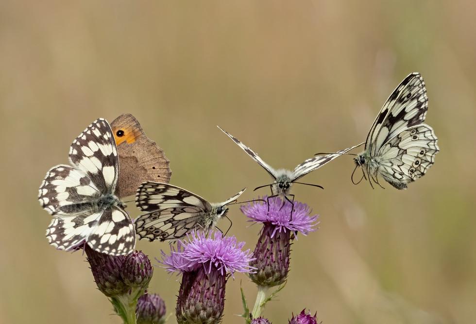 _6166661 Marbled Whites + Meadow Brown.j