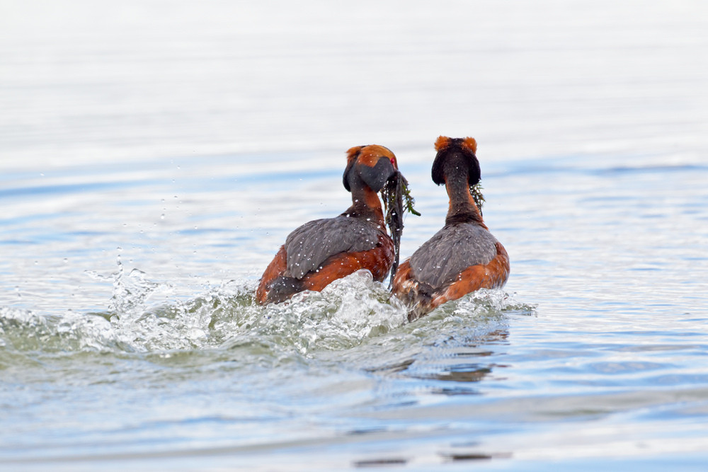 _13C4546 Slavonian Grebes - weed dance.j