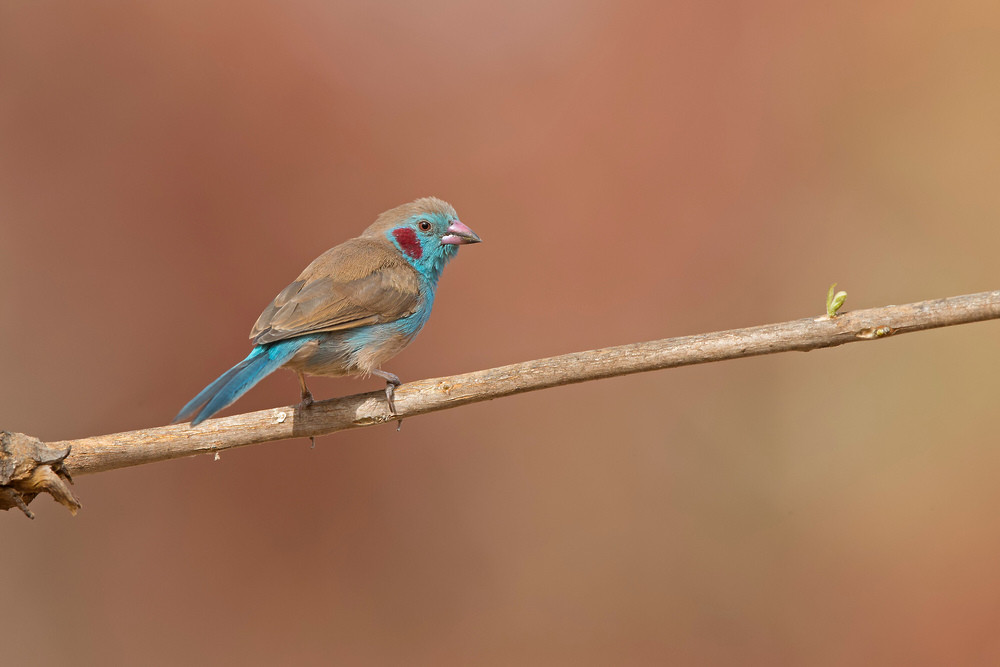 _H2P9912 Red-cheeked Cordon Bleu.jpg