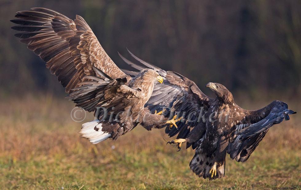 _H2P6370 Adult attacking juvenile