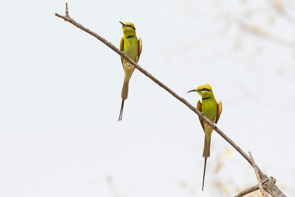 _A5A0744 Little Green Bee Eaters.jpg