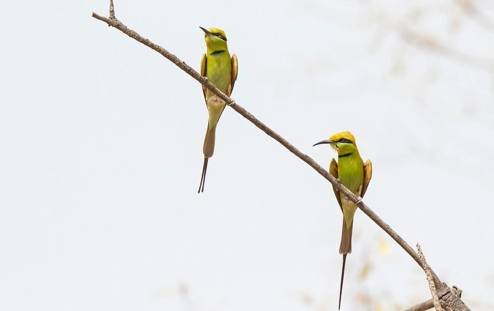 _A5A0744 Little Green Bee Eaters.jpg
