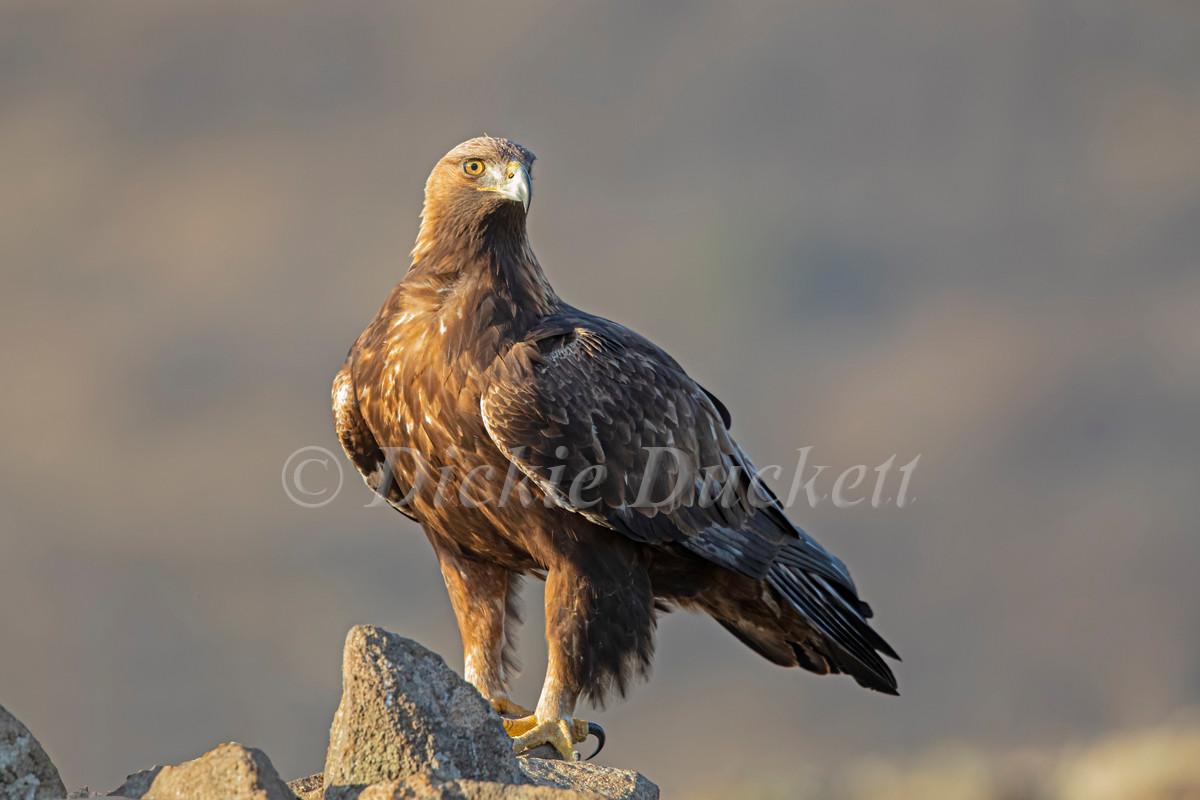 _I8A4158 Golden Eagle posing on rocks.jp