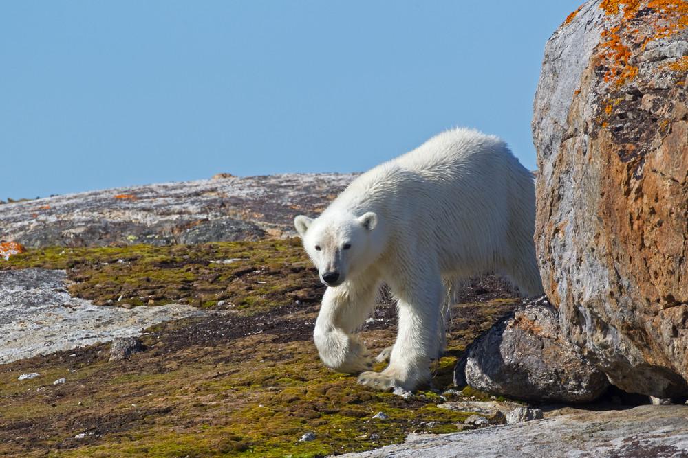 04 Polar Bear.jpg
