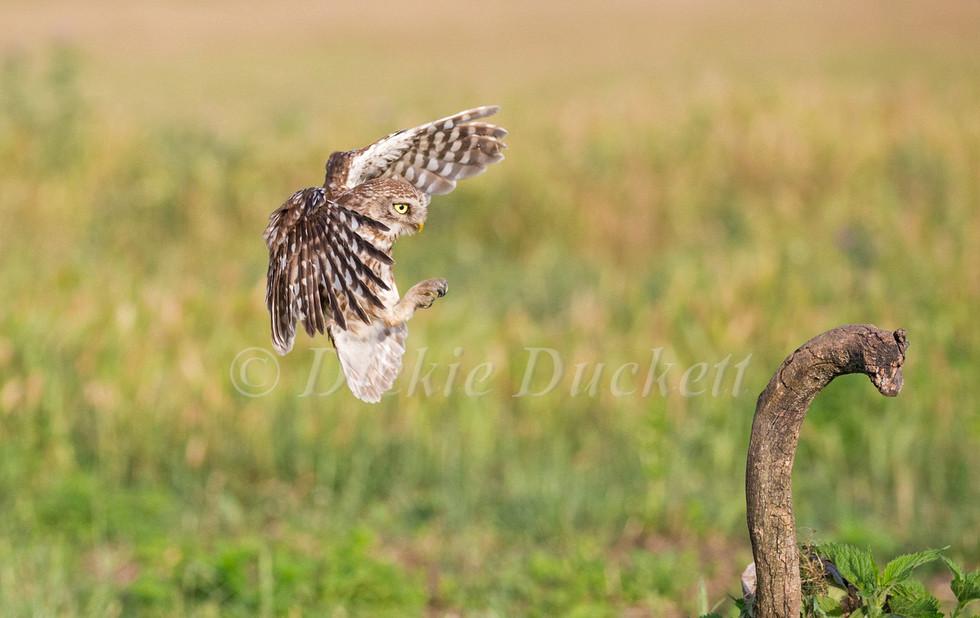 _H2P1967 Owl landing 2 (cropped).jpg