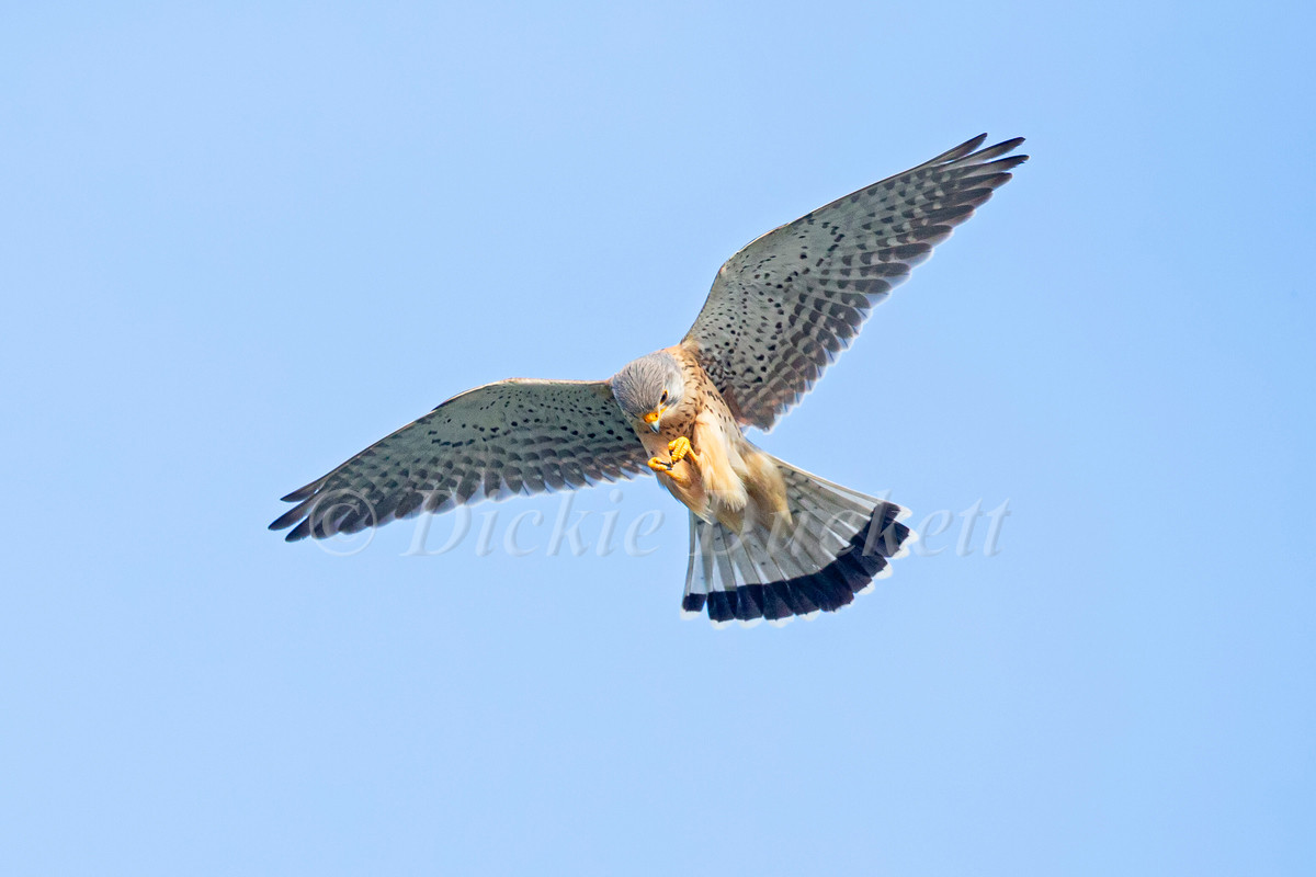 _H2P1226 Kestrel eating Mayfly.jpg
