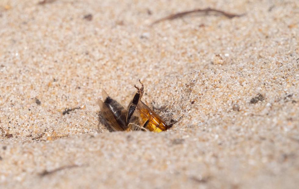 _7079088 Bee Wolf burying Bee.jpg