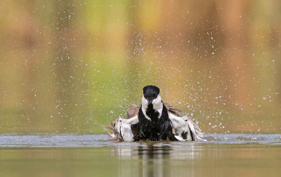 _A5A3745 Spur-winged Plover bathing.jpg
