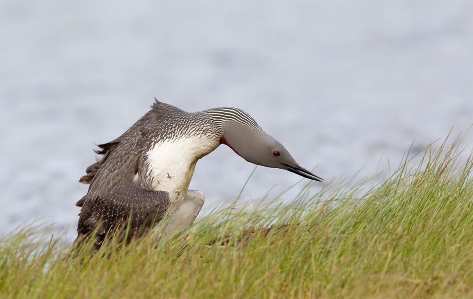 02 Red-throated Diver.jpg