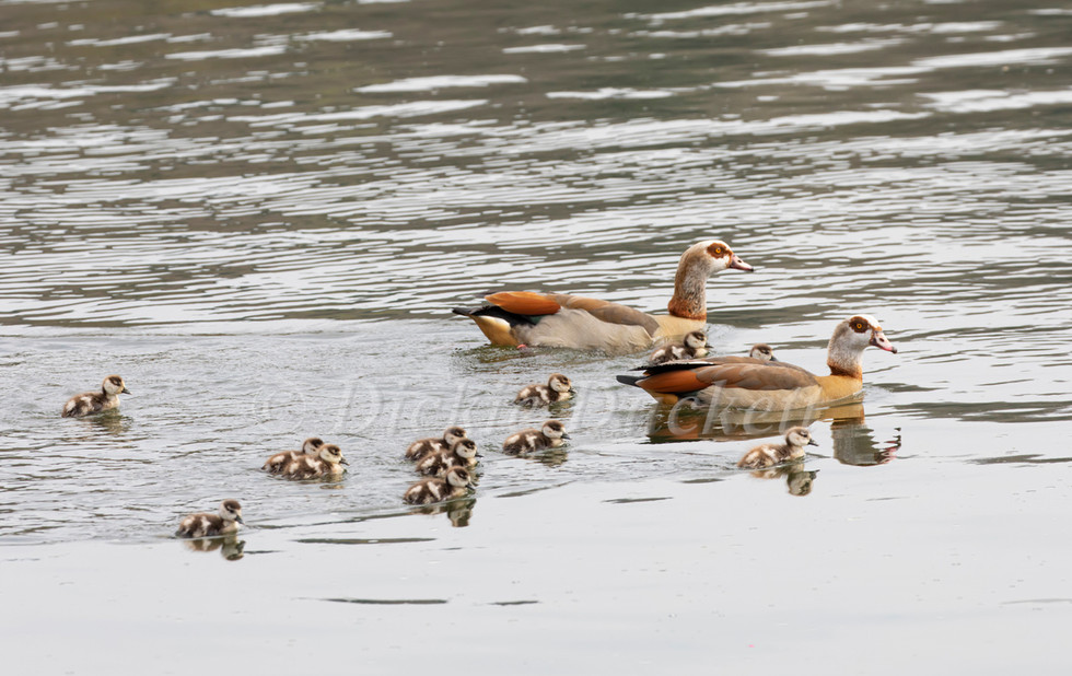 _I8A4220 Egyptian Geese family (12Gs).jp